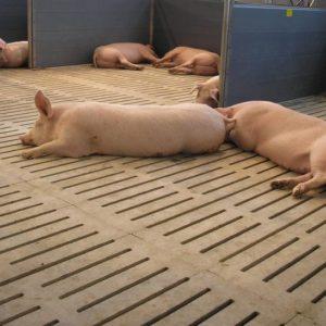 Оборудование для группового содержания свиней